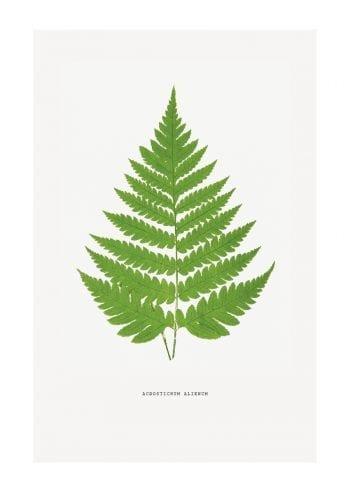 Poster Acrostichum 1