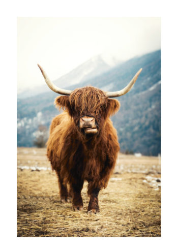 Poster Highland Cattle 1