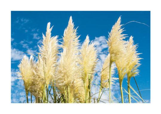Poster Pampasgräs i bris 1