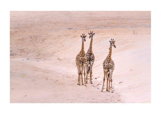 Poster Tre giraffer 1